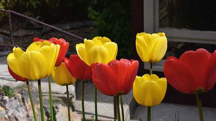Gorgeous tulips!