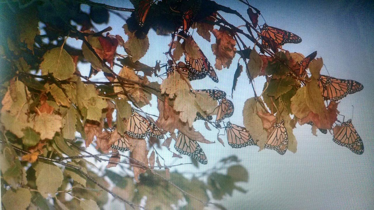 Monarch butterflies migrating in the Stonington Peninsula