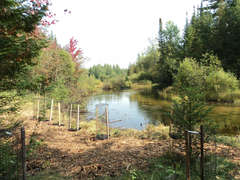 Ausable river with newly planted cedars