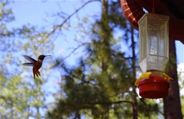 Abundant hummingbird visits Cedarside regularly