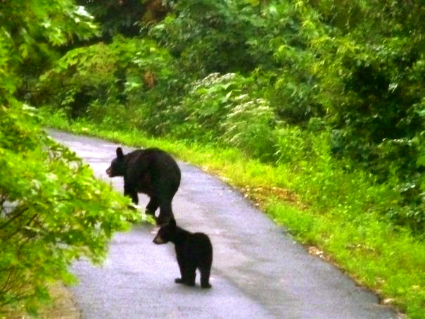 Two Bears in the Road of the Woods.