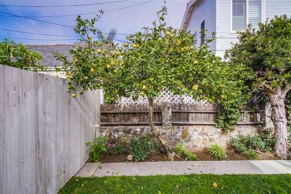 Fresh Lemon Tree grown in backyard