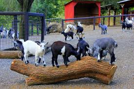 Many Goats in the Smoky Mountain Deer Farm.
