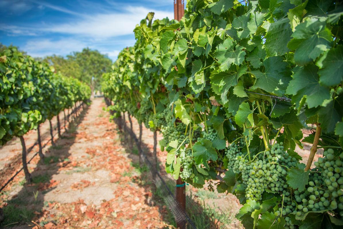 Beautiful green vineyards