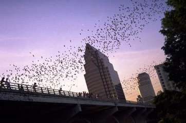 The famous Mexican free-tail bats