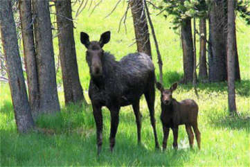 moose are always seen from this property