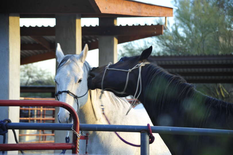 Two Horses Next Door to our Pet Friendly Vacation Rental in Scottsdale AZ