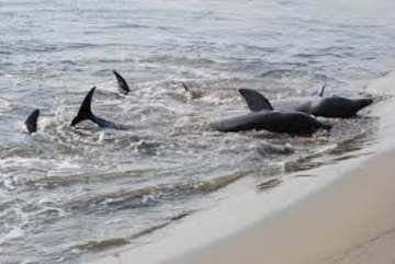 Watch the spectacular dolphins as they strand feed