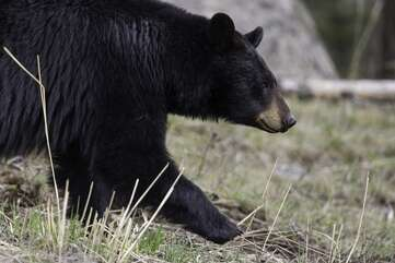 Yellowstone is bear country meaning you should always be prepared with bear spray.