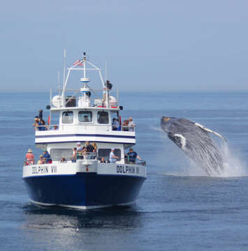 Make sure to go on a Whale watch while visiting Provincetown Cape Cod New England Vacation Rentals