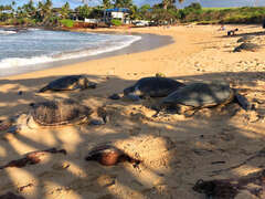 At the beach across the lane, the turtles love to come up on the sand to rest.