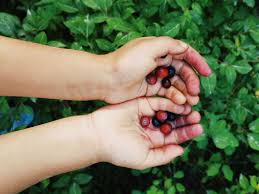 Huckleberries are common in the surrounding areas of McCall