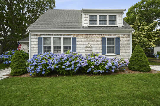 Traditional Cape Cod flowers - The Blue Hydrangea -  26 Sea Mist Lane South Chatham Cape Cod - New England Vacation Rentals